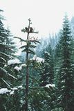 Täckt snö sörjer, snö sjön, Washington royaltyfri bild