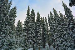 Täckt snö sörjer träd i en skog Fotografering för Bildbyråer