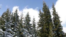Täckt snö sörjer träd i en solig dag Flyg- panorera arkivfilmer