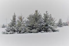 Täckt snö sörjer träd i vintern Royaltyfri Bild