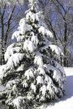 Täckt snö sörjer trädet Arkivfoto