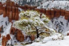 Täckt snö sörjer trädet efter stormen, Bryce Canyon, Utah Royaltyfria Foton