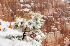 Täckt snö sörjer trädet i stormen, Bryce Canyon, Utah Arkivfoto