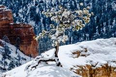 Täckt snö sörjer trädet på olycksbringaren, Bryce Canyon, Utah Arkivfoto