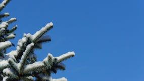 Täckt snö sörjer trädfilialen mot en klar blå himmel royaltyfri fotografi