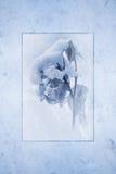 Täckt snö steg Royaltyfri Foto