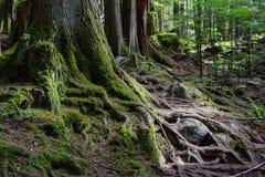 Täckt synlig mossa rotar och trädstammar arkivbilder