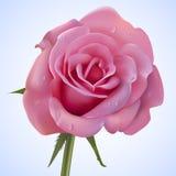 Täckte droppar för rosa färger ros av vatten Arkivfoton