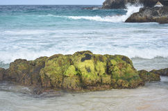 Täckte gröna alger vaggar på en strand i Aruba Arkivfoto