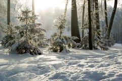 täckte rimetrees för buskar frost Fotografering för Bildbyråer