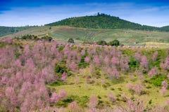 Tält och rosa färgblommafält i berg med blå himmel på Thailand Arkivbild