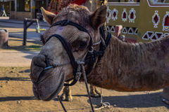 Tämjd kamel arkivbild