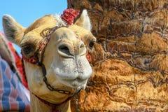 Tämjt huvud av dromedar rida kamlet som binds upp med metallkedjan royaltyfri bild