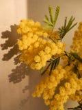 Tänd kvist av mimosan Royaltyfria Foton