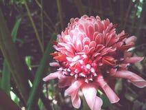 Tända eld på ‹för plant†för ‹för Ginger†‹tropicalâ€, fotografering för bildbyråer