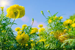 Tända signalljuseffekt på afrikansk ringblomma blomma i lantgård Arkivfoto
