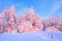 Tänder den breda blytaket för en väg in i skogen med träd som täckas med snö som är upplyst av en försiktig morgonrosa färg Träst arkivfoto