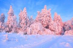 Tänder den breda blytaket för en väg in i skogen med träd som täckas med snö som är upplyst av en försiktig morgonrosa färg Träst arkivbilder