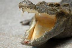 tänder för blodkrokodil s Royaltyfri Foto