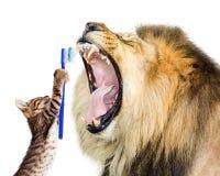 Tänder för Cat Brushing Lion ` s Royaltyfri Fotografi