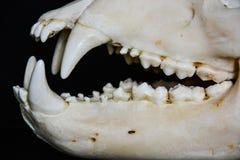 Tänder från skallen av en björn Arkivbild