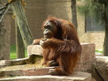 tänka för orangutan Royaltyfri Foto