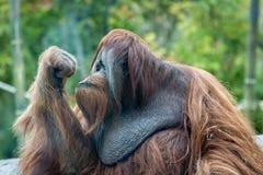 Tänka för orangutangapa arkivbilder
