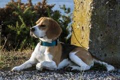Tänkande beagle Royaltyfri Fotografi