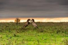 Tänzelnde Pferde bei Sonnenuntergang Lizenzfreie Stockbilder