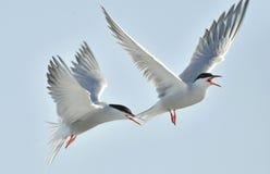 Tärnan flyger rymma en näbb en svans av annan tärna Closeupstående av gemensamma tärnor (bröstbenhirundoen) Vuxna gemensamma tärn Royaltyfri Bild