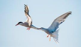 Tärnan flyger rymma en näbb en svans av annan tärna Closeupstående av gemensamma tärnor (bröstbenhirundoen) Vuxna gemensamma tärn Royaltyfria Bilder