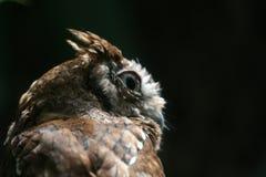tät östlig owlscreech upp arkivbild