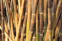 Tät bambu i trädgården Arkivfoton