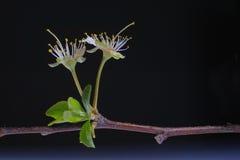 tät blomma upp white Arkivfoto