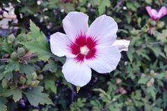 tät blomma upp white bostonian royaltyfri fotografi