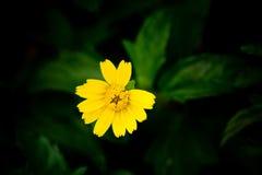 tät blomma upp yellow Royaltyfria Foton