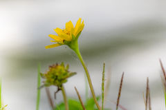 tät blomma upp yellow Royaltyfria Bilder