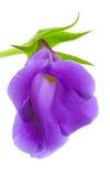 tät blommagloxinia upp Royaltyfri Fotografi