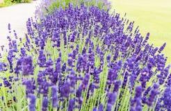 tät blommalavander upp Fotografering för Bildbyråer