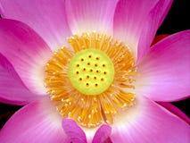 tät blommalotusblomma upp Royaltyfri Bild