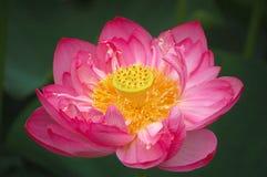 tät blommalotusblomma upp Royaltyfri Fotografi