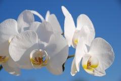 tät blommaorchid upp white Arkivfoto