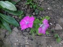 tät blommapink upp Royaltyfria Foton