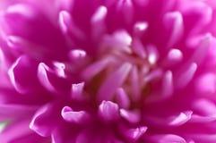 tät blommapink upp royaltyfri foto