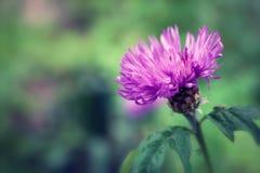 tät blommathistle upp Arkivfoton