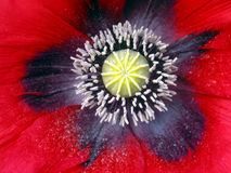 tät blommavallmo upp Royaltyfri Foto