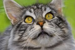 tät coon maine för katt upp Arkivbild