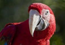 tät crimson macaw upp arkivfoton