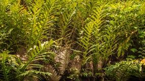 Tät djungel av ormbunken Royaltyfria Foton