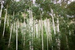 Tät dunge av högväxta raka asp- träd fotografering för bildbyråer